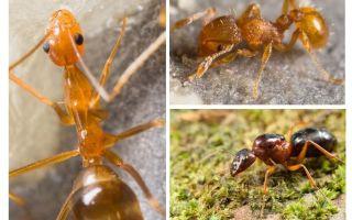Kaç karınca pençeleri