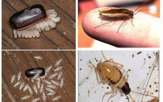 Yerli hamamböceği doğurmak nasıl