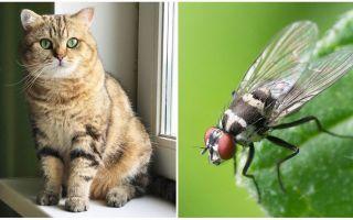 Bir kedi ya da kedi sinek yerse ne yapmalı