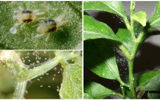 Houseplants üzerinde örümcek akarları kurtulmak için nasıl