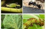 Karınca ve afidlerin ilişkisi