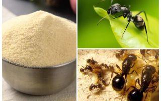 Bahçedeki karıncalar Manka