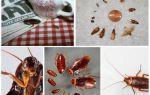 Yerli hamamböceği bir kişiyi ısırır mı
