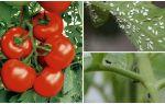 Beyaz ve siyah sineklerden domates nasıl işlenir