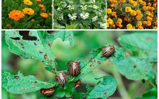 Colorado Patates Böceği Kimyasız Savaşmak