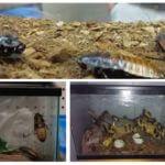 Madagaskar tıslama hamamböceği için akvaryum