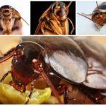 Hamamböceği çeneleri