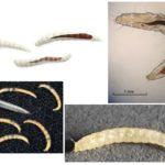 Pire larvaları