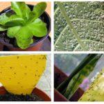 İç mekan bitkilerinde kara sinekler