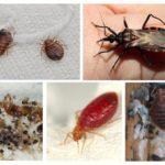 Parazit böcekleri