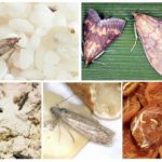 Gıda güvesi çeşitleri