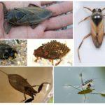 Su böcekleri