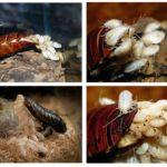 Madagaskar tıslama hamamböceği yumurta