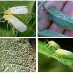 Beyaz sinek