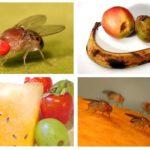 Meyve Sinekleri