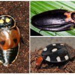 Hamamböceği türleri