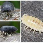 Lice larvaları