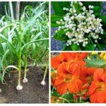 Çilek tarla bitkileri
