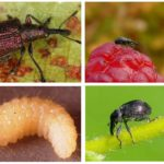 Çilek Weevil Larvaları