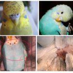 Papağan pire