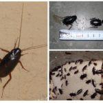 Siyah hamamböceği-2
