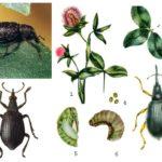 Yonca nodule weevils