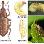 Nodülün larvaları