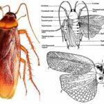 Hamamböceği kanatları