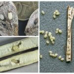 Dulavratotu güve larvaları