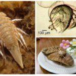 Deniz hamamböceği-1