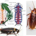 Hamamböceği yapısı