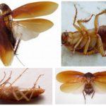 Hamamböceği vücut yapısı