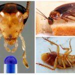 Hamamböceği başsız yaşayabilir