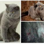İngiliz kedilerde pire