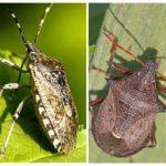 Koku böcek-1