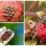 Berry böcek-1