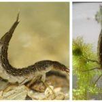 Yüzme larvaları