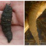 Su larvaları larvaları