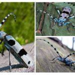 Alp böceği böceği
