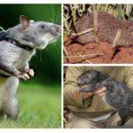 Büyük sıçanlar