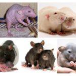 Dekoratif sıçanlar