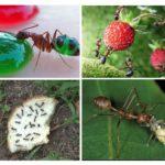 Karıncalar için gıda