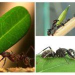 Karınca nasıl bir yük taşıyabilir?