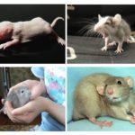 Sıçan yavruları