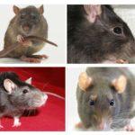 Sıçanların görsel oryantasyonu