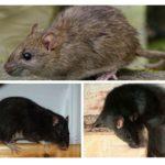 Siyah ve gri sıçanlar