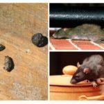 Apartmanda sıçanlar