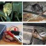Arabada sıçanlar