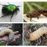 Mayıs böceği ve Medvedka Larva