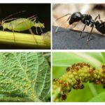 Karınca ve yaprak biti